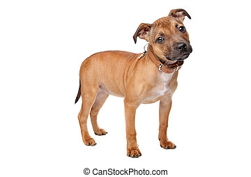 Staffordshire Bull Terrier puppy in front of a white...