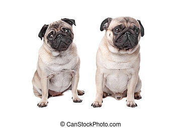 two pug dogs in front of a white background