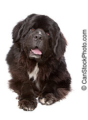 Newfoundland dog - Newfoundland dog in front of a white...