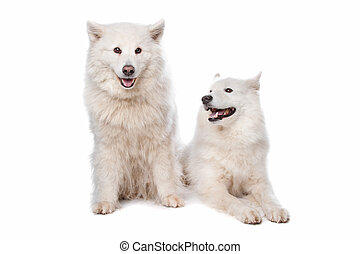 Samoyed (dog) - two Samoyed dogs in front of a white...
