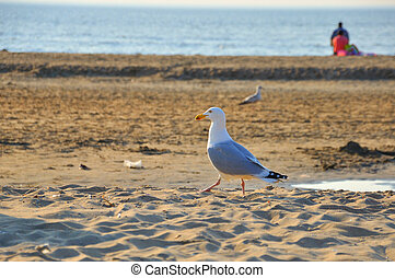 Walking gracefull black-tailed gull seagull along the...