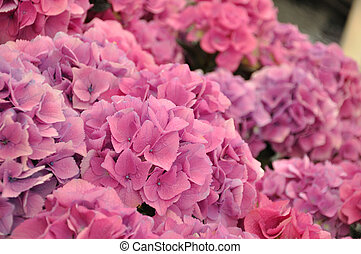Pink hydrangea bodensee blossing in Keukenhof park in...