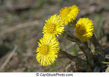 Coltsfoot - Four yellow coltsfoot growing up in spring