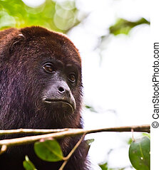 Lazy monkey - A large wild black howler monkey at rest in...