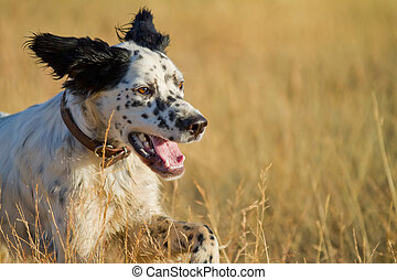 Pointer pedigree dog running closeup - side view of Pointer...