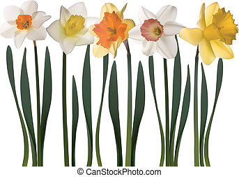 daffodil flowers on white backgroun