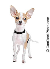 Short haired chihuahua in front of a white background