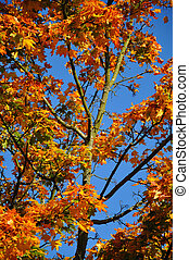 Fall yellow red maple forest with blue sky in Fulda, Hessen,...