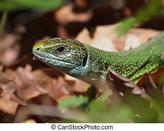 European Green Lizard, Lacerta viridis