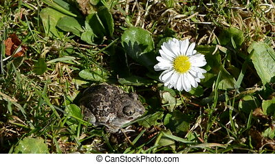 frog Pelobates fuscus in spring and flower