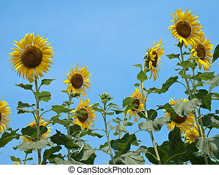 Sunflowers against blue sky in look up view from the ground