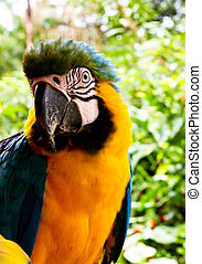 Blue and yellow Macaw - A blue and yellow macaw looks into...