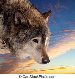 Head of wolf against sunset sky background