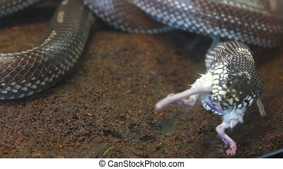 feeding reptile - snake eating mouse