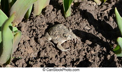frog Pelobates fuscus dig a hole in the spring ground
