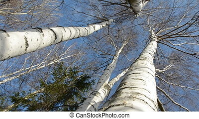 spring birches on sky background and camera rotary motion