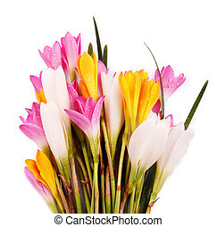Bunch of beautiful brightly colored Crocus flowers