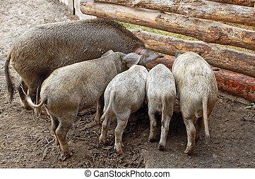 Domestication wild boar feeding - Wild boar feeding in...