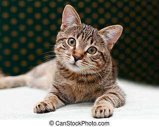 atigrado, gato, colocar, Miradas
