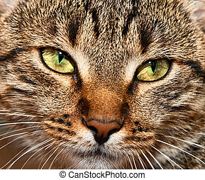 portrait of yellow-eyed tabby cat - Close-up portrait of...