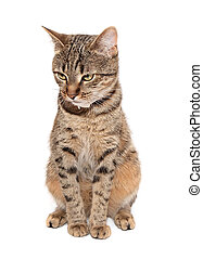 Tabby cat sits on white background