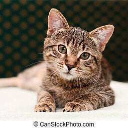Tabby cat watching - Tabby Cat laying looking into camera