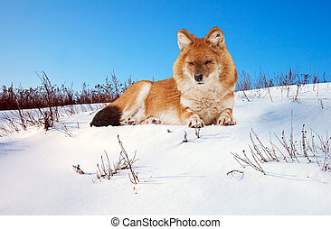 Dhole on snow - Dhole or Indian Wild Dog Cuon alpinus on...
