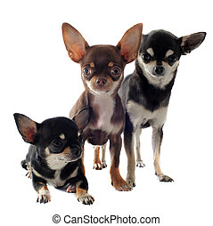 three chihuahuas - portrait of a three purebred short hair...