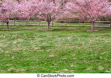 Spring Scene - A row of cherry trees and fence in the...