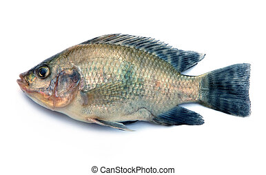 Nile Tilapia fish on white background - Fresh fish isolated...