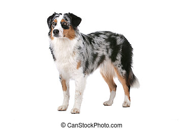 Australian shepherd in front of a white background