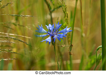 blue cornflower on a green background