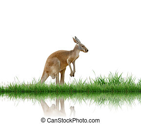 kangaroo with green grass isolated