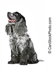 blue roan cocker spaniel in front of a white background