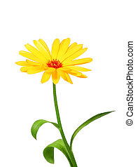 One orange flower of calendula. Isolated on white...