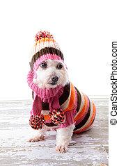 Llevando, suéter,  adorable, perro, invierno