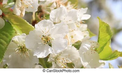 Cherry tree blossom close-up - Cherry tree blossom moving in...