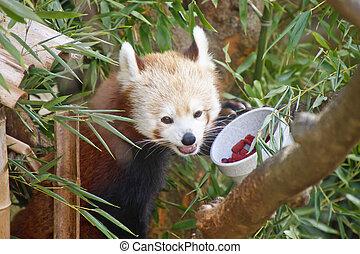 Fox Feeding in Habitat