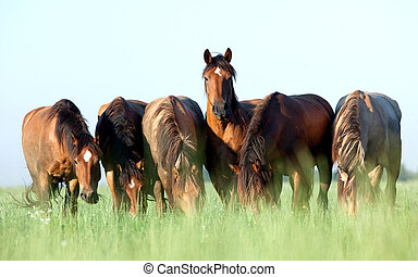 Herd of horses in pasture - Herd of Belarus horses outside...