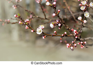 White cherry flowers - Background with beautiful white...