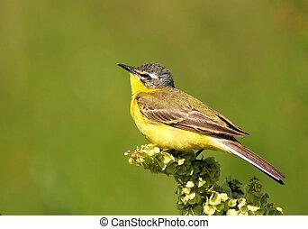 Yellow Wagtail  - Singing Yellow Wagtail
