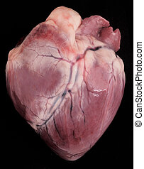 pig heart - A pig heart on black background