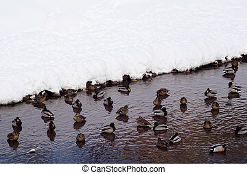 Wild ducks floating in a lake - Wild ducks floating in the...