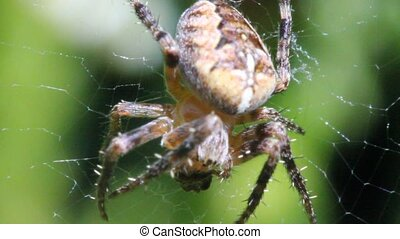 Spider and prey - The video shows a spider eating its prey.