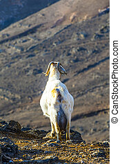 wild mountain goat