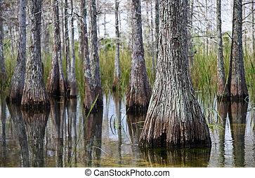 Cypress Swamp - Cypress swamp in Big Cypress National...
