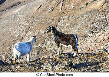 two wild mountain goats