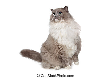 Ragdoll cat in front of a white background