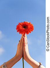 Gerbera, orando, flor, mãos