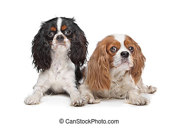 two Cavalier King Charles Spaniel dogs in front of a white...